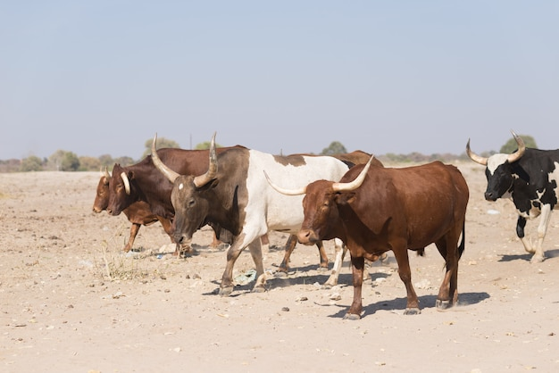 Cattle herd walking on african dirt road, rural life