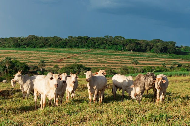 Cattle loose in the pasture