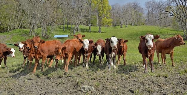 Крупный рогатый скот альпийских молодых телят на лугу и глядя в камеру