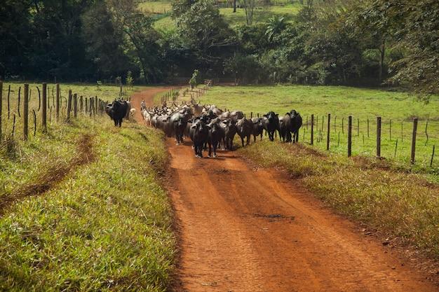 未舗装の道路を歩いている角のある牛の牛。晴れた日。
