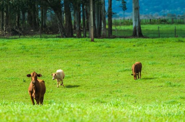 Крупный рогатый скот на зеленом поле в бразилии