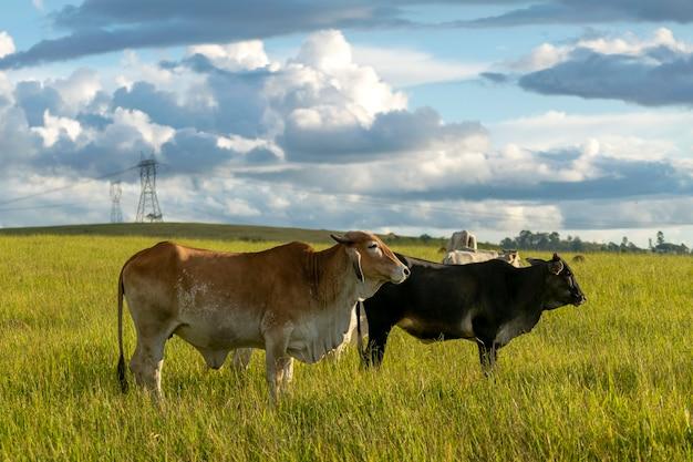 農場の牧草地の牛