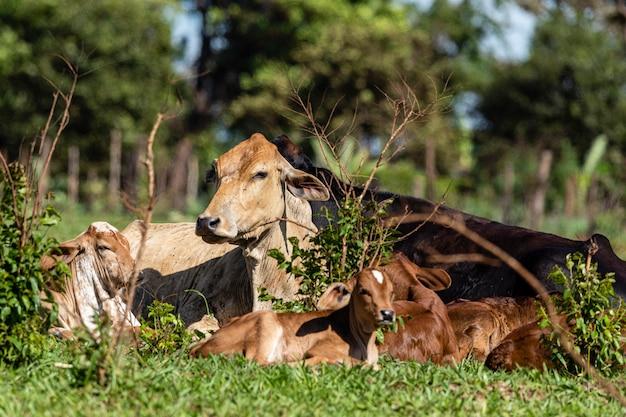 Крупный рогатый скот или коровы,