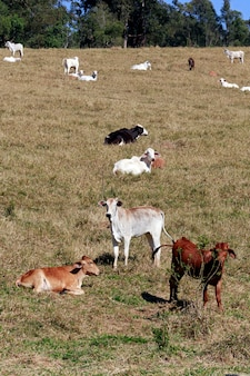 Cattle in the pasture, in brazill