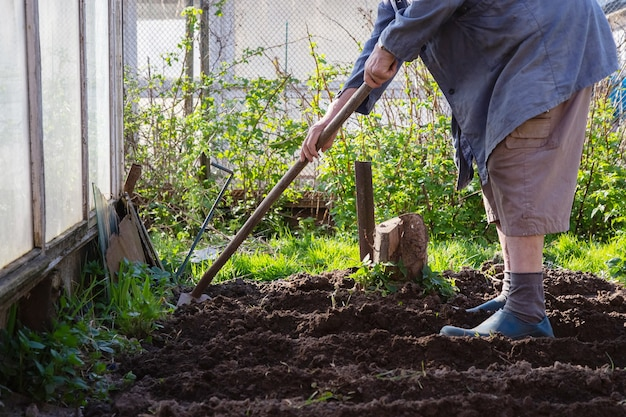 白人の年配の男性の庭師はジャガイモを植えています。彼は植物を土に入れ、土で覆った。