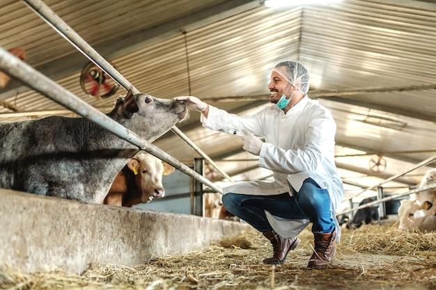 白人の獣医師が制服を着て身をかがめ、ふくらはぎをふれ、病気の子牛にショットを与える準備をしています。
