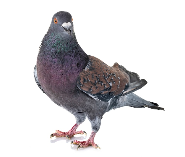 Cauchois pigeon in studio