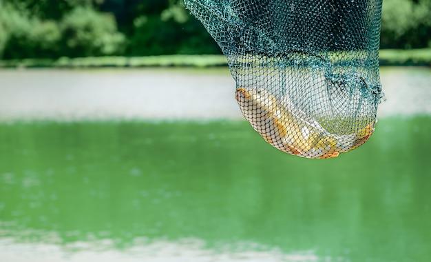 Пойманный зеркальный карп в рыболовной клетке на фоне озера. копировать пространство