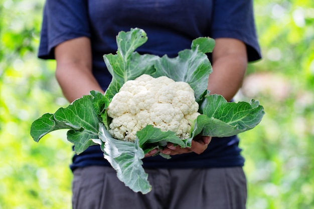 Cauliflower with leaves in hands of woman farmer