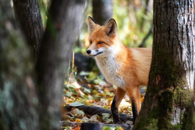 Осторожная лиса остановилась на опушке леса в осенних листьях.