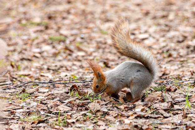 Cautious funny squirel serching for food in the forest