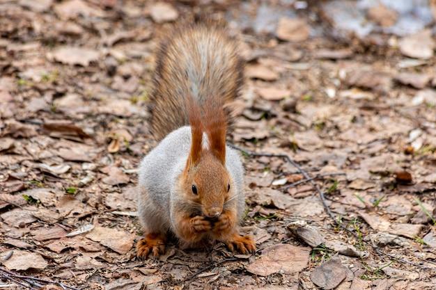 森の中で食べ物を探している慎重な面白いリス