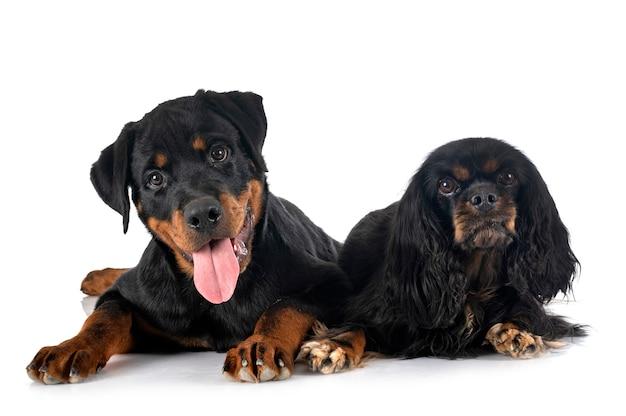 Кавалер кинг чарльз и щенок ротвейлера на белом фоне
