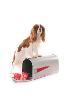 Кавалер кинг чарльз собака стоит на почтовом ящике с рождественскими подарками