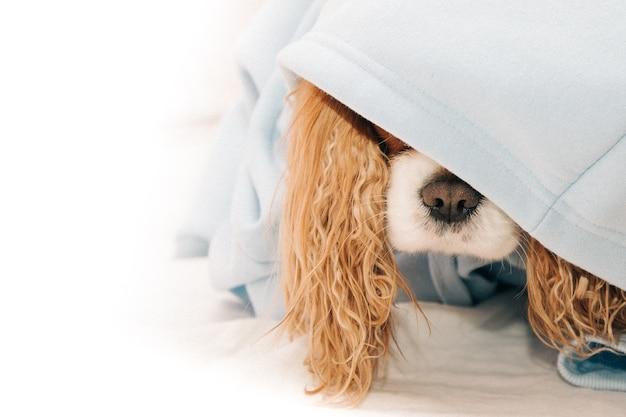 Кавалер кинг чарльз спаниель нос собаки торчит из-под капота, концепция одежды для домашних животных