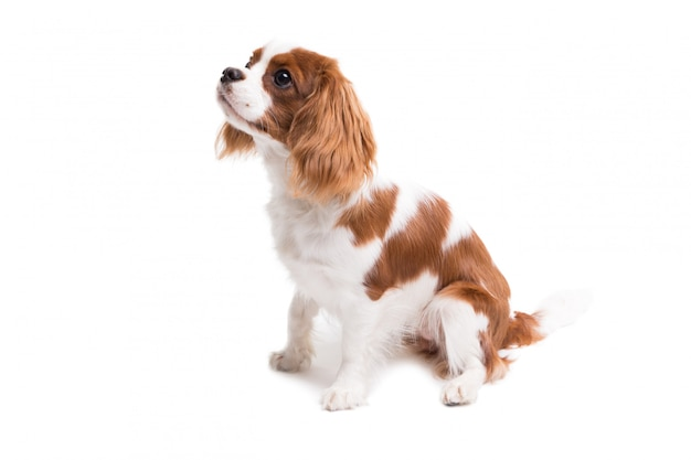 Cavalier king charles spaniel is sitting in studio on white - isolate with shadow