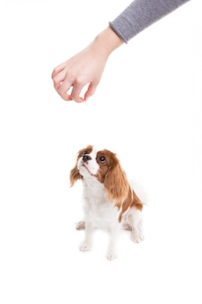 Cavalier king charles spaniel jumps, trying to catch food   on white