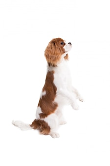 Cavalier king charles spaniel jumps  on white