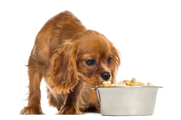 무심 한 킹 찰스 발 바리 강아지 흰색에 고립 된 그릇에서 먹는