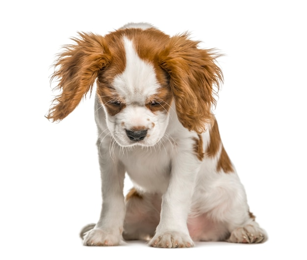 Кавалер кинг чарльз спаниель щенок смотрит вниз, изолированные на белом