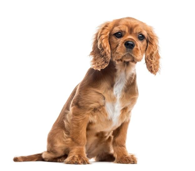 Кавалер кинг чарльз спаниель щенок, сидя и глядя в камеру, изолированные на белом