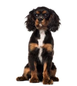 Кавалер кинг чарльз спаниель щенок сидит, изолированные на белом