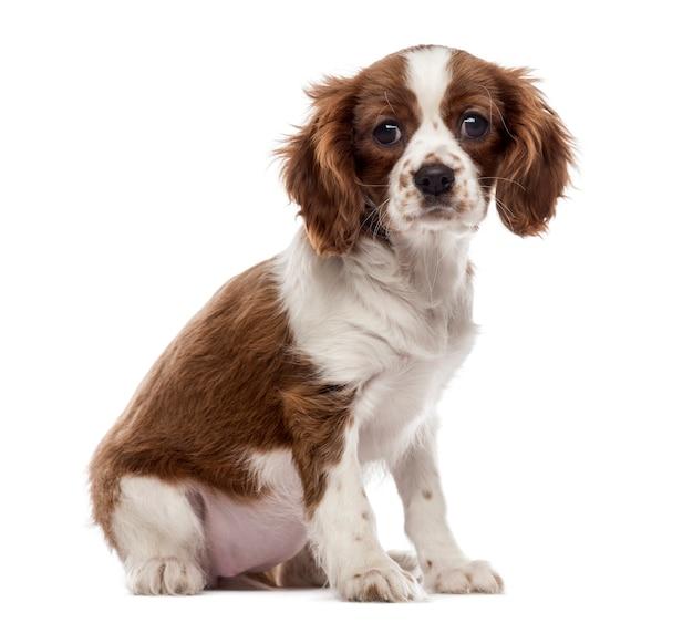 座っているキャバリアキングチャールズスパニエルの子犬