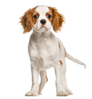 Кавалер кинг чарльз спаниель щенок стоя, изолированные на белом
