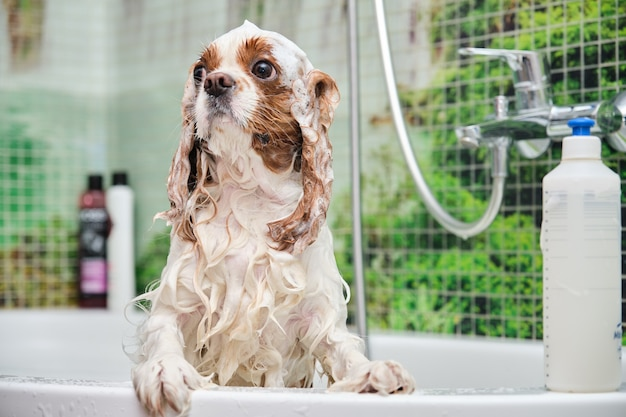Cavalier king charles spaniel stands in the bathroom on his hind legs.