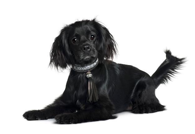 Кавалер кинг чарльз спаниель с 1 года. портрет собаки изолированный