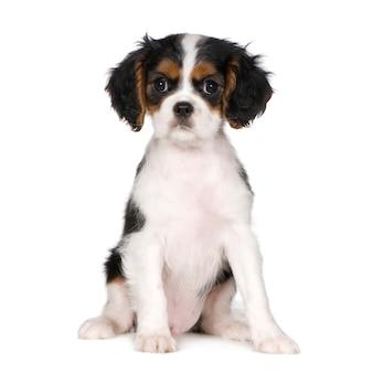 Кавалер кинг чарльз спаниель с 3,5 месяцами. портрет собаки изолированный