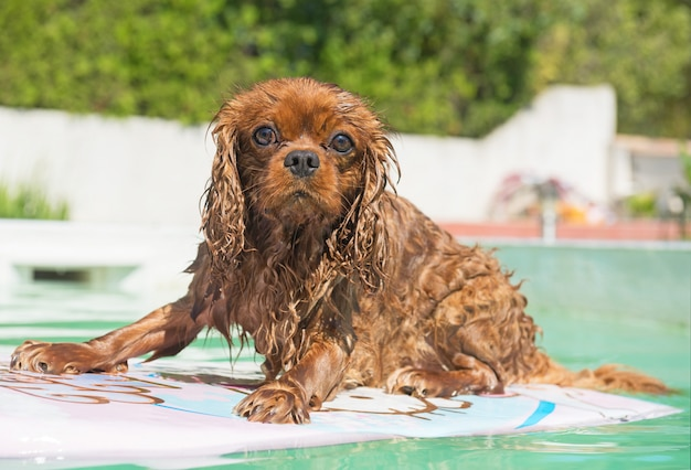 Cavalier king charles in swimming pool