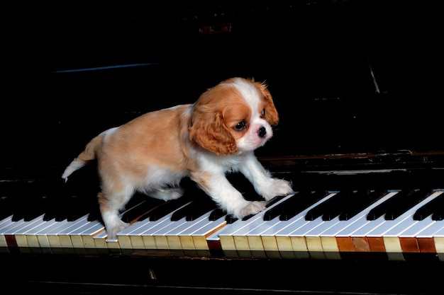 Cavalier king dog on the piano.