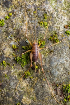 Cave cricket (dolichopoda linderi) an endemic rare species in the east of catalonia, lives in humid caves feeding on bat droppings, vegetable remains, etc.