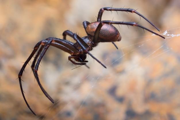 Cave spider, meta bourneti in a cave.