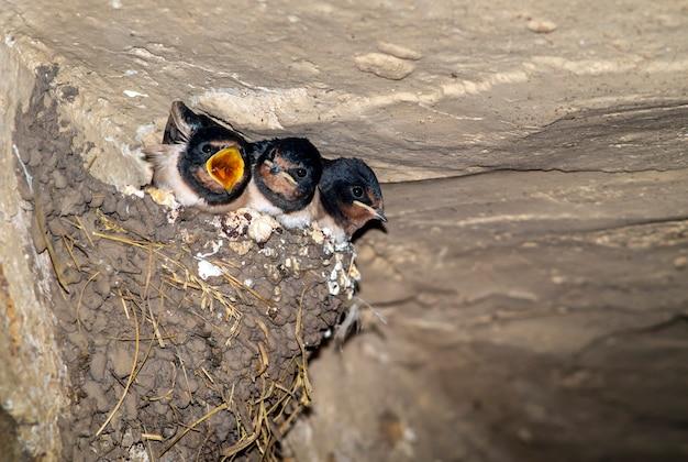 Пещерные ласточки в гнезде с открытым ртом в ожидании еды