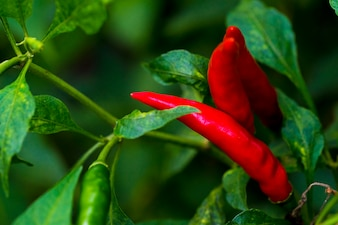 Cayenne pepper is a famous spicy taste. The food is Thai.