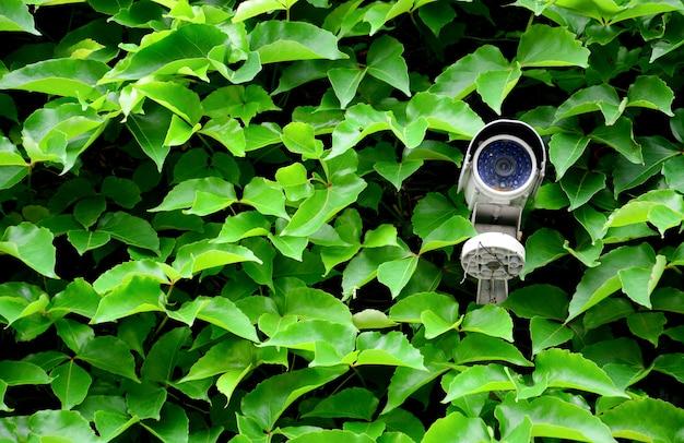 古い白いcctvカメラまたは緑の葉のよじ登り植物が付いている壁の監視