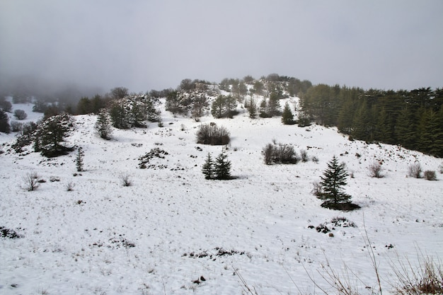 The cedar forest in mountains of lebanon