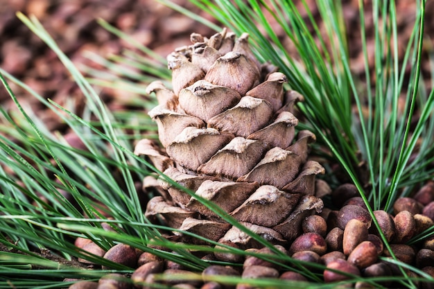 Cedar pine cone with pine nuts close-up with copyspace.