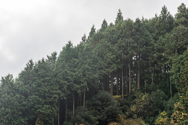 Cedar trees forest covering mountain hill side in autumn