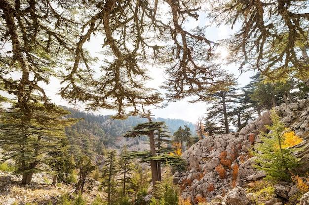 山、トルコの杉の木