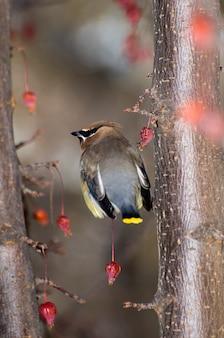 開花クラブアップルツリーのヒメレンジャク鳥