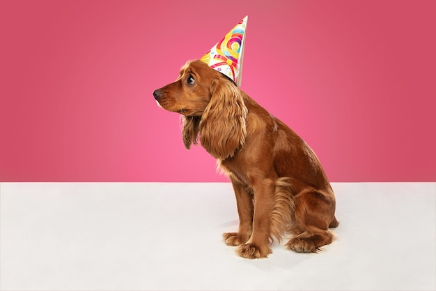 Celebration event. english cocker spaniel young dog is posing. cute playful brown doggy or pet sitting isolated on pink wall. concept of motion, action, movement, pets love. looks cool.