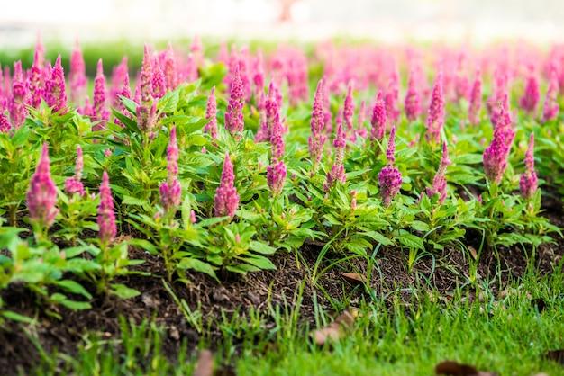 ピンクのcelosia argentea