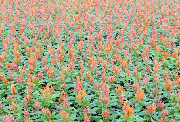 カラフルな羽毛のあるコックの花またはcelosia argenteaの花