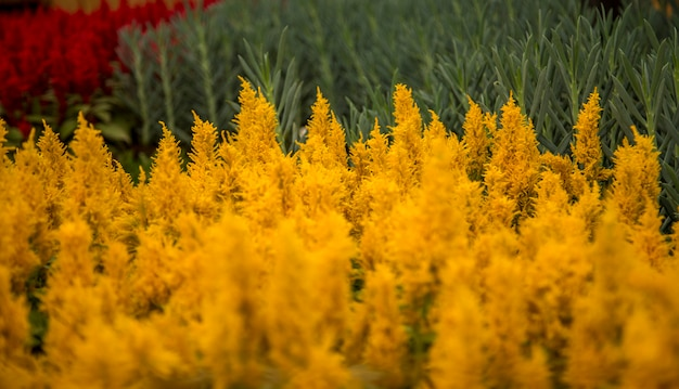 Celosia花植物の葉の栽培