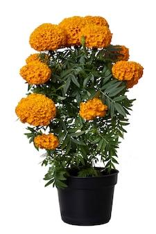 흰색 배경으로 냄비에 cempasuchil 꽃