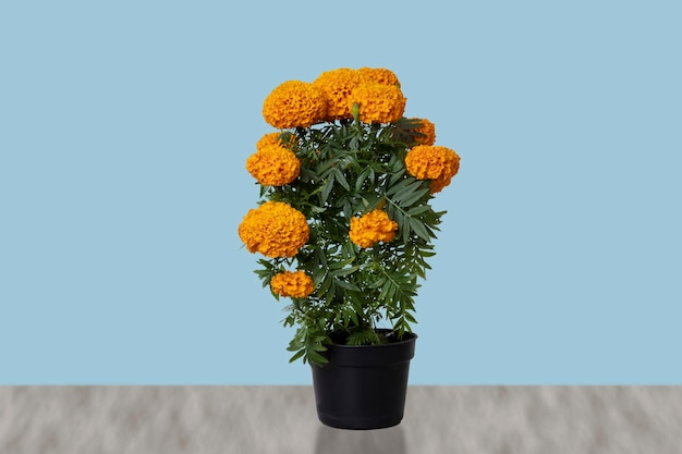 Cempasuchil flower in pot with blue background