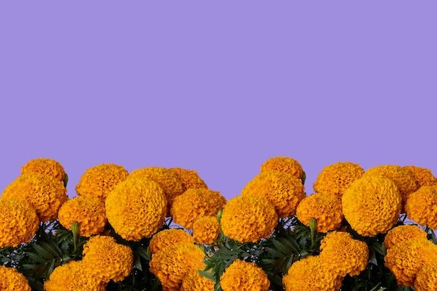 상단 및 보라색 배경에 텍스트를 위한 공간이 있는 cempasuchil 꽃